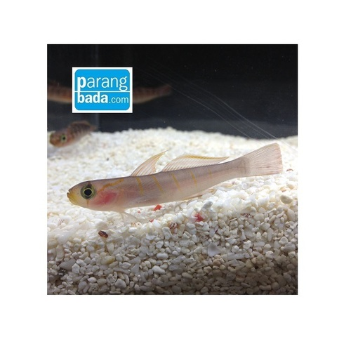 흰줄망둑 - Whitegirdled goby