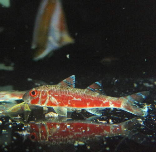 노랑촉수 - Striped goatfish