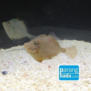 그물코쥐치 - white-spotted pigmy filefish
